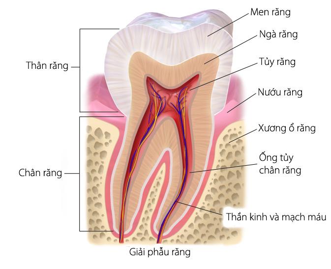 Cấu trúc của 1 chiếc răng thật có lớp men răng bao phủ bên ngoài